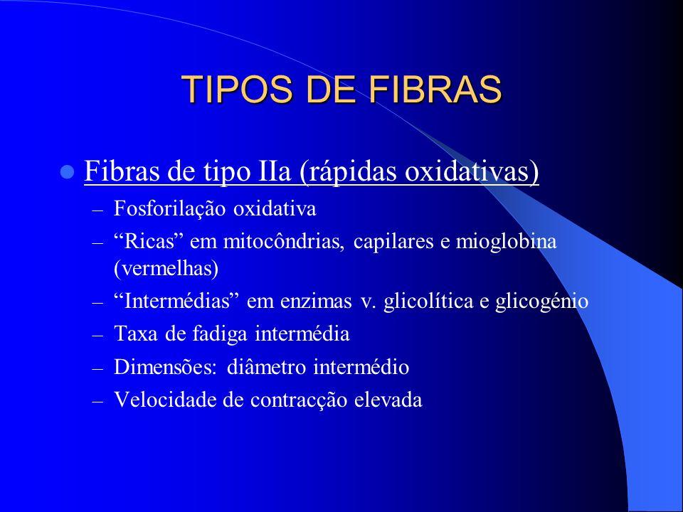 TIPOS DE FIBRAS Fibras de tipo IIa (rápidas oxidativas) – Fosforilação oxidativa – Ricas em mitocôndrias, capilares e mioglobina (vermelhas) – Intermé