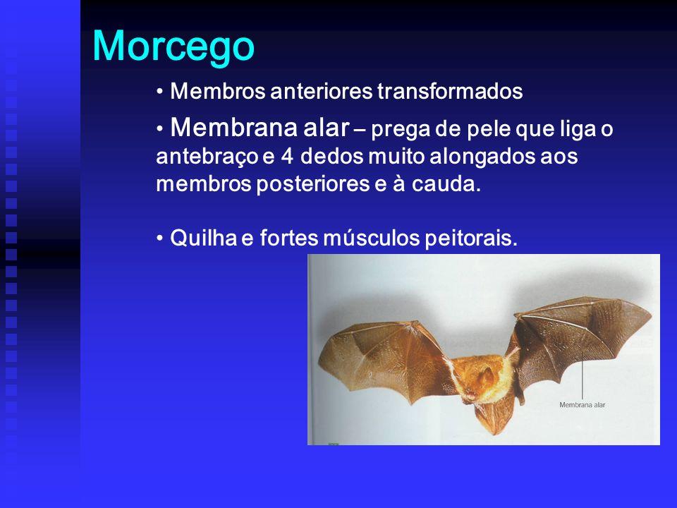 Morcego Membros anteriores transformados Membrana alar – prega de pele que liga o antebraço e 4 dedos muito alongados aos membros posteriores e à cauda.