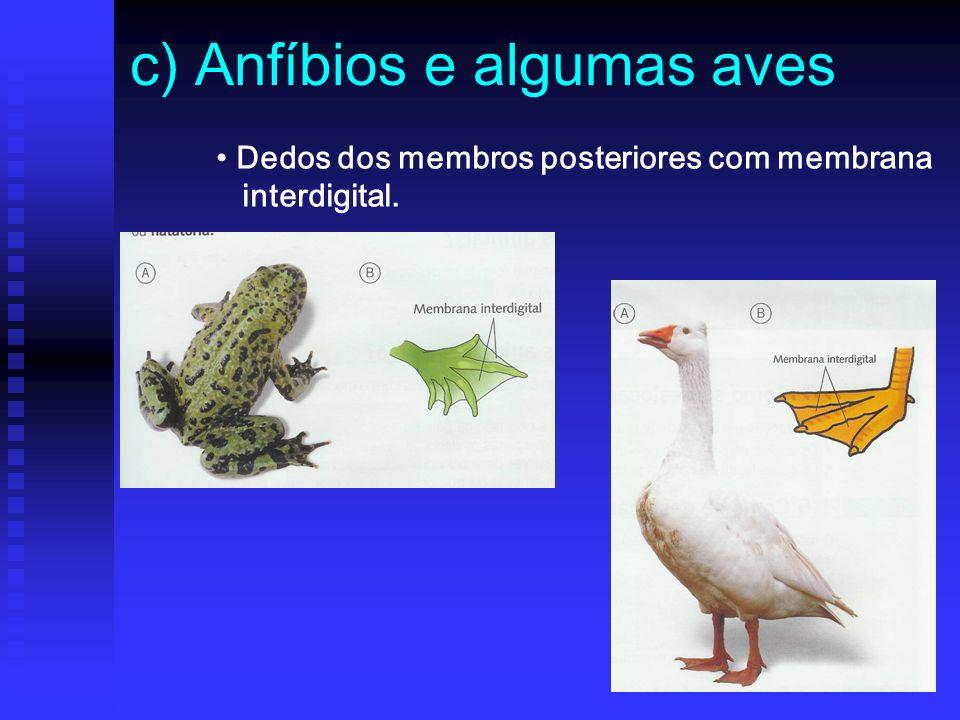 c) Anfíbios e algumas aves Dedos dos membros posteriores com membrana interdigital.