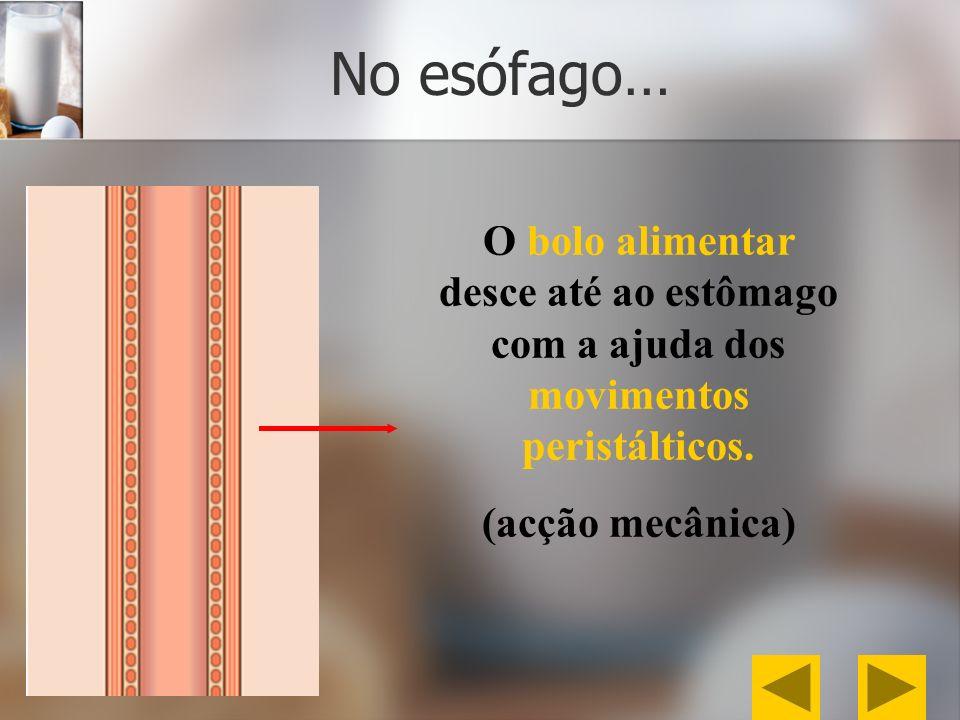 No esófago… O bolo alimentar desce até ao estômago com a ajuda dos movimentos peristálticos. (acção mecânica)