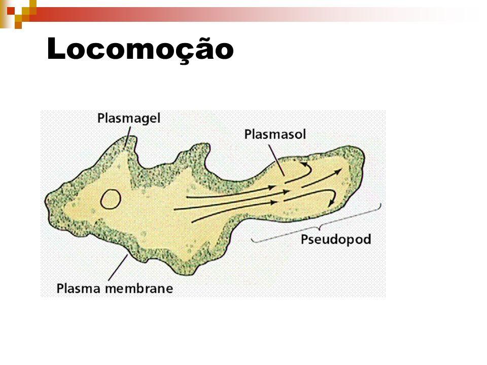 Balantidíase (Ciliado) Agente etiológico: Balantidum coli Contaminação: Ingestão de cistos em água ou alimentos contaminados Sintomas: Disenteria aguda, náuseas, vômitos, cólicas intestinais.