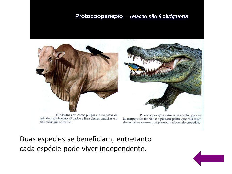Duas espécies se beneficiam, entretanto cada espécie pode viver independente.