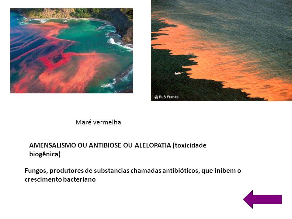 AMENSALISMO OU ANTIBIOSE OU ALELOPATIA (toxicidade biogênica) Maré vermelha Fungos, produtores de substancias chamadas antibióticos, que inibem o crescimento bacteriano