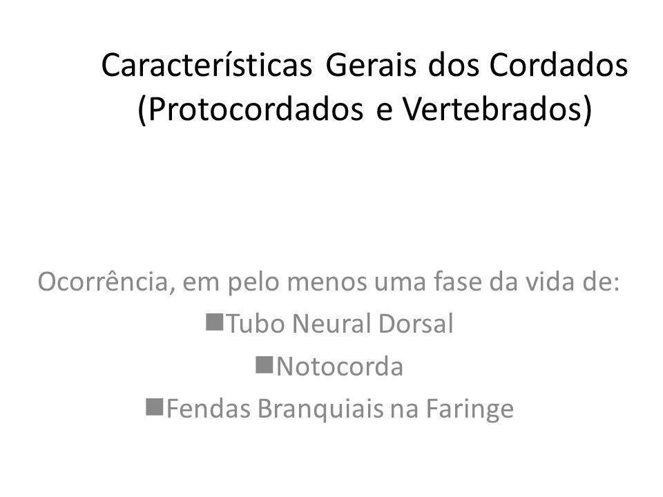 Características Gerais dos Cordados (Protocordados e Vertebrados) Ocorrência, em pelo menos uma fase da vida de: nTubo Neural Dorsal nNotocorda nFendas Branquiais na Faringe