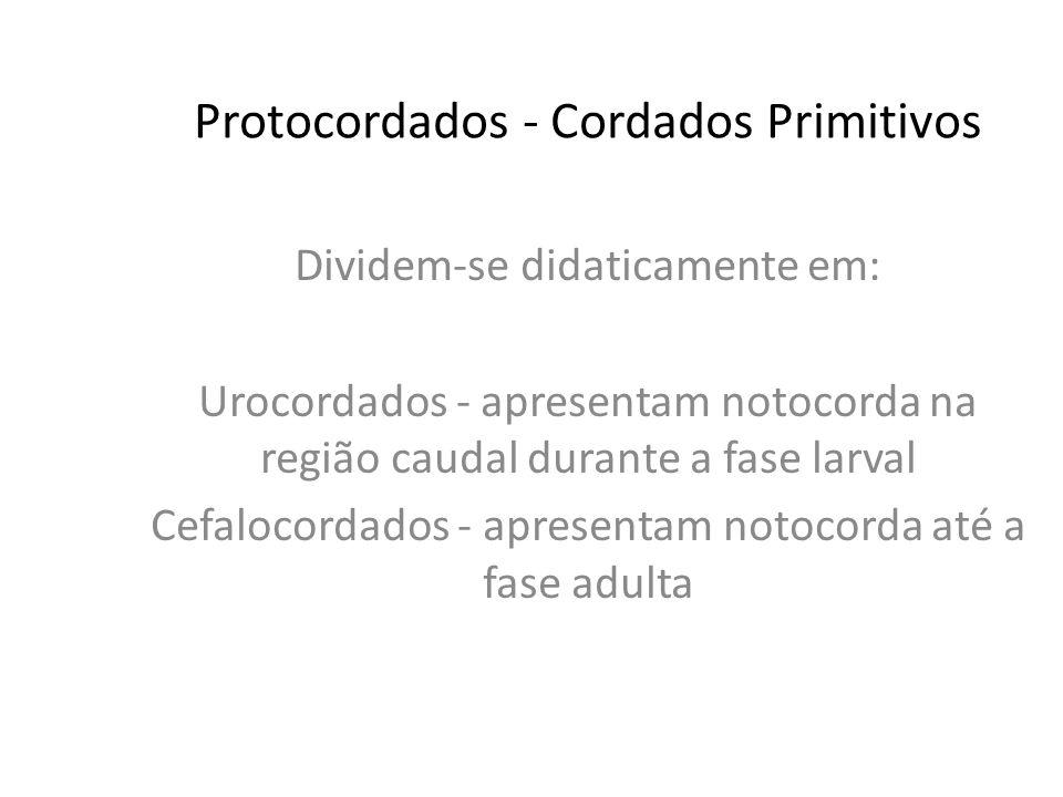 Protocordados - Cordados Primitivos Dividem-se didaticamente em: Urocordados - apresentam notocorda na região caudal durante a fase larval Cefalocordados - apresentam notocorda até a fase adulta