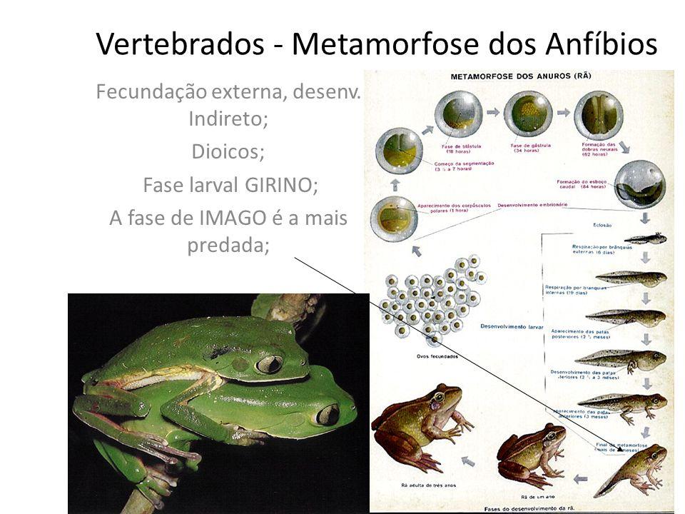 Vertebrados - Metamorfose dos Anfíbios Fecundação externa, desenv.