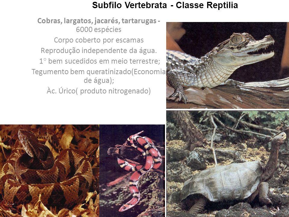 Subfilo Vertebrata - Classe Reptilia Cobras, largatos, jacarés, tartarugas - 6000 espécies Corpo coberto por escamas Reprodução independente da água.