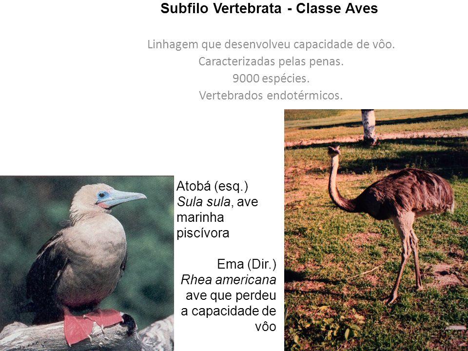 Subfilo Vertebrata - Classe Aves Linhagem que desenvolveu capacidade de vôo.