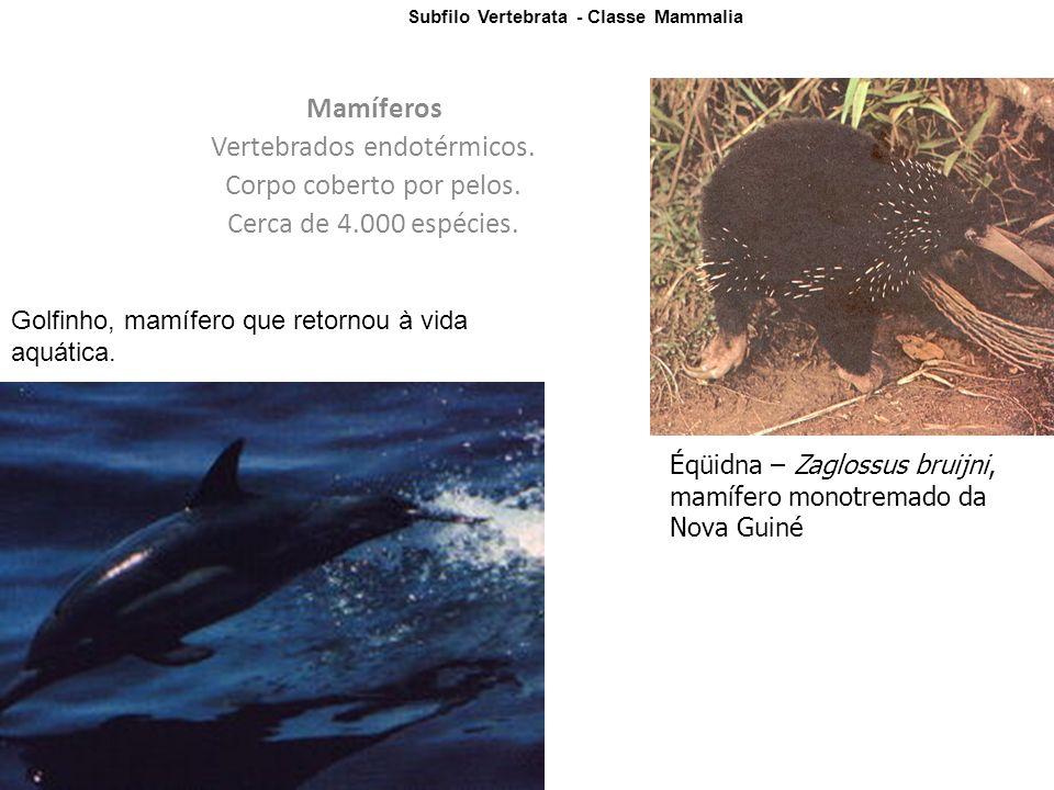 Subfilo Vertebrata - Classe Mammalia Mamíferos Vertebrados endotérmicos.