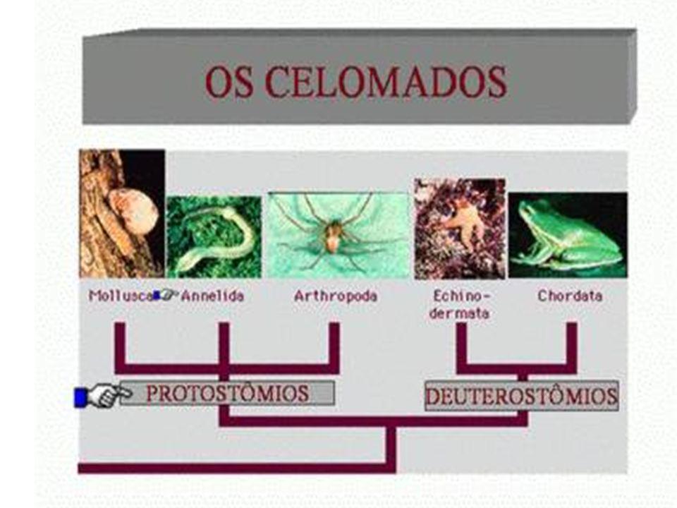 Principais Filos Filo Porifera Filo Cnidaria Filo Plathielminthe Filo Nematelminthe Filo Annelida Filo Mollusca Filo Arthropoda Filo Echinodermata Filo Chordata