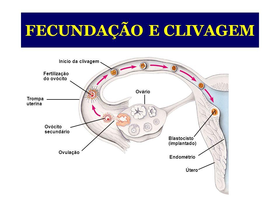 Início da clivagem Fertilização do ovócito Trompa uterina Ovócito secundário Ovulação Ovário Blastocisto (implantado) Endométrio Útero FECUNDAÇÃO E CLIVAGEM