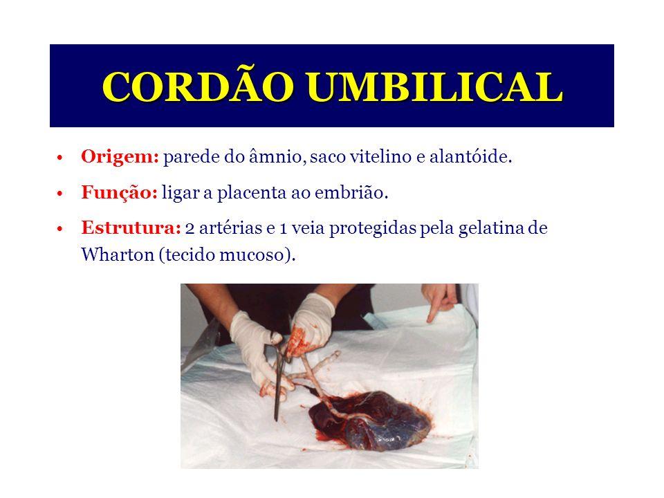 Expulsão da placenta 3 Cordão umbilical Útero Placenta (parcialmente destacada) ESTÁGIOS DO TRABALHO DE PARTO (III) O terceiro estágio (estágio da placenta) -Duração em média de 15 minutos.