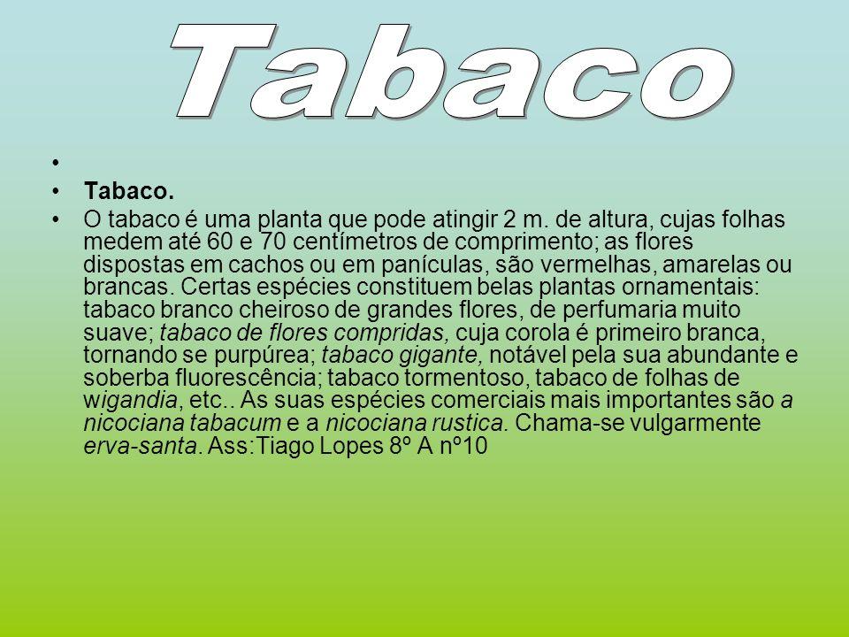 Tabaco. O tabaco é uma planta que pode atingir 2 m. de altura, cujas folhas medem até 60 e 70 centímetros de comprimento; as flores dispostas em cacho
