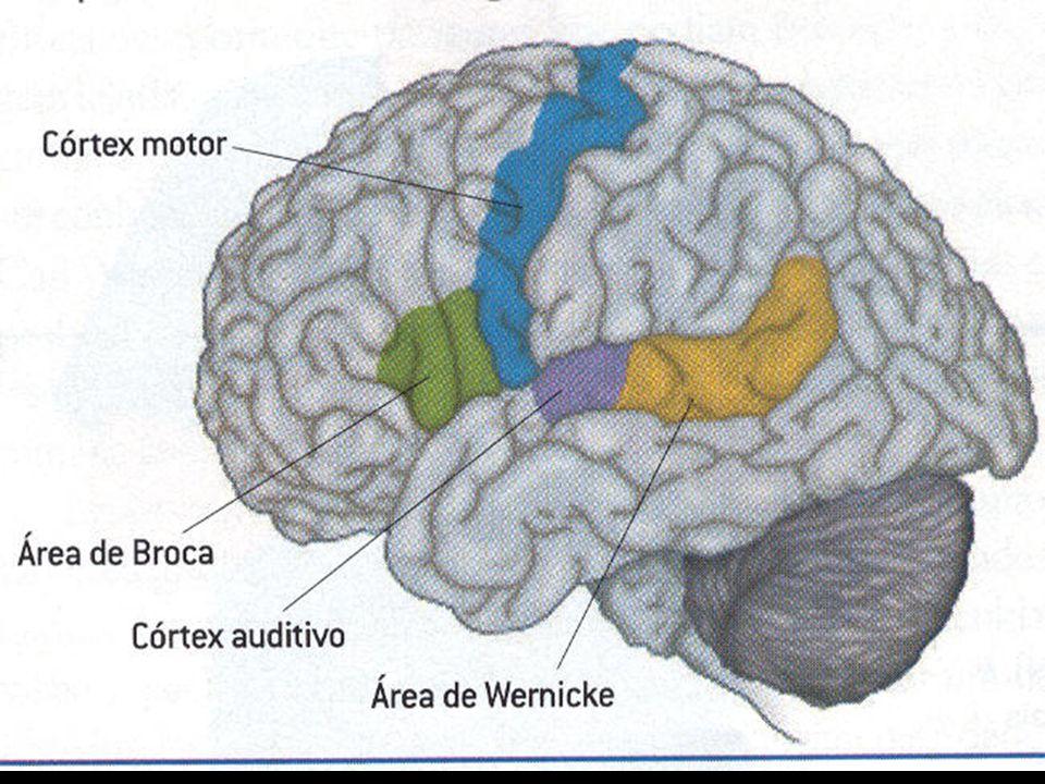 Cérebro ou Cérebros? Teoria Modular Korbinian Brodman (1909): divisão do cérebro em 52 áreas distintas.