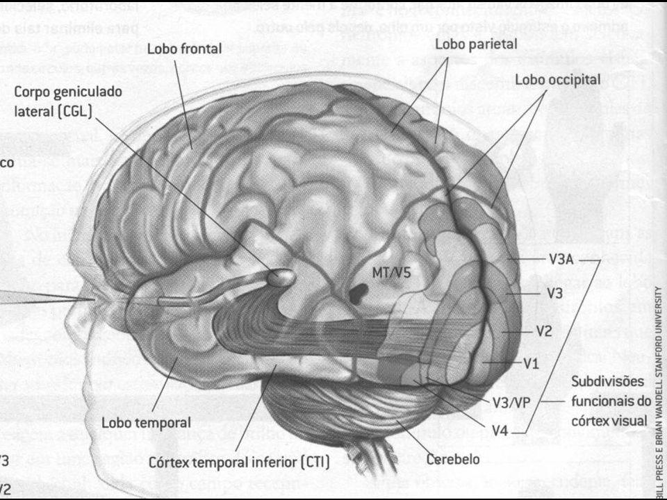 Ó Percurso Ótico Tálamo Área onde são processadas as informações visuais para a percepção Radiações Visuais Região Ótica Nervo Ótico Córtex Visual Pri