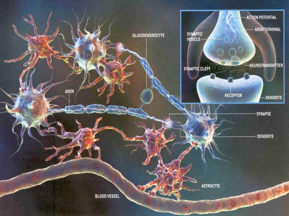 Com cerca de 100 bilhões de neurônios e 1,3 Kg de peso, o cérebro é o órgão mais complexo do corpo humano. A imagem de ressonância magnética funcional