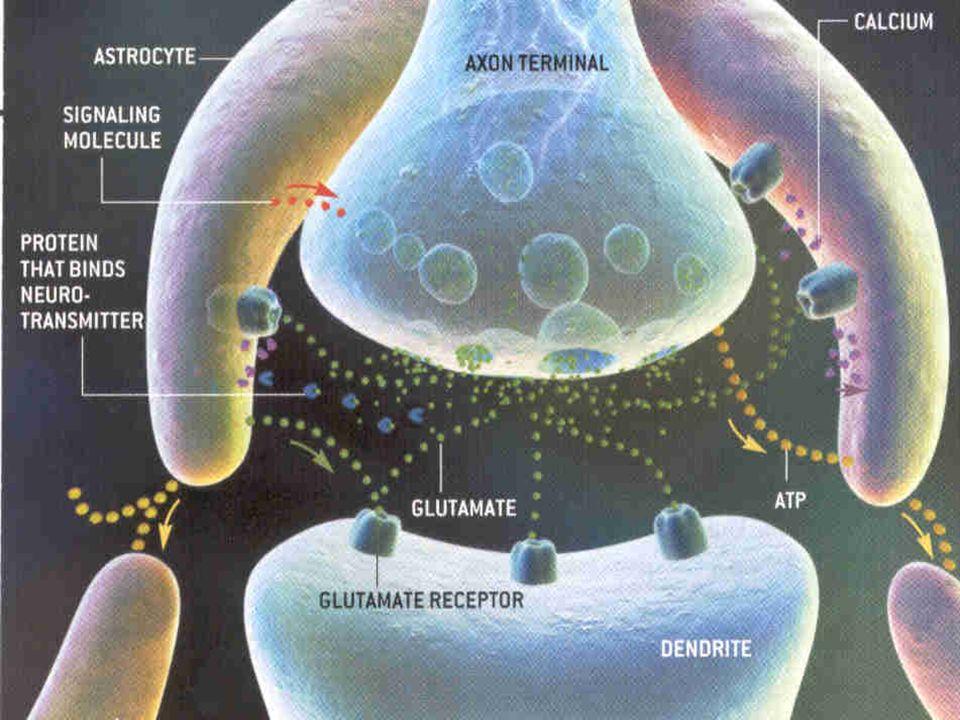 As células glia são, como os neurônios, de vários tipos: Temos as células de Schwam, astrocitos, etc.