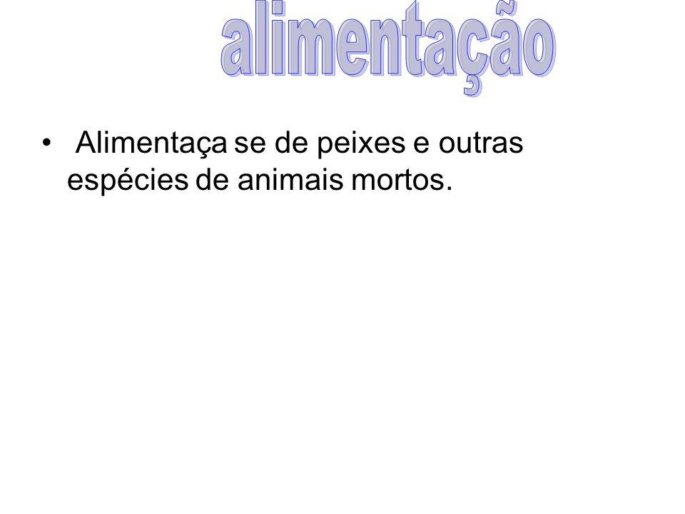 Alimentaça se de peixes e outras espécies de animais mortos.
