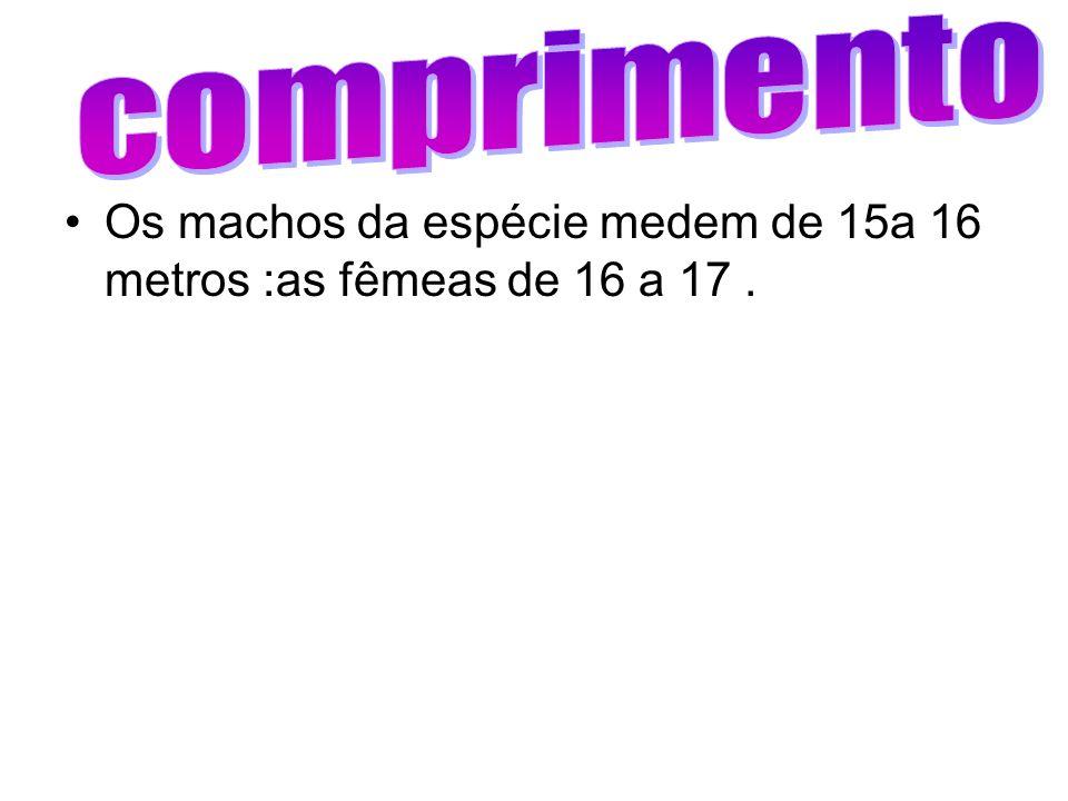 Os machos da espécie medem de 15a 16 metros :as fêmeas de 16 a 17.