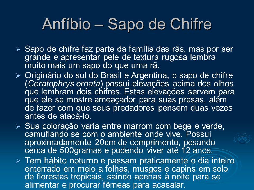 Anfíbio – Sapo de Chifre Sapo de chifre faz parte da família das rãs, mas por ser grande e apresentar pele de textura rugosa lembra muito mais um sapo