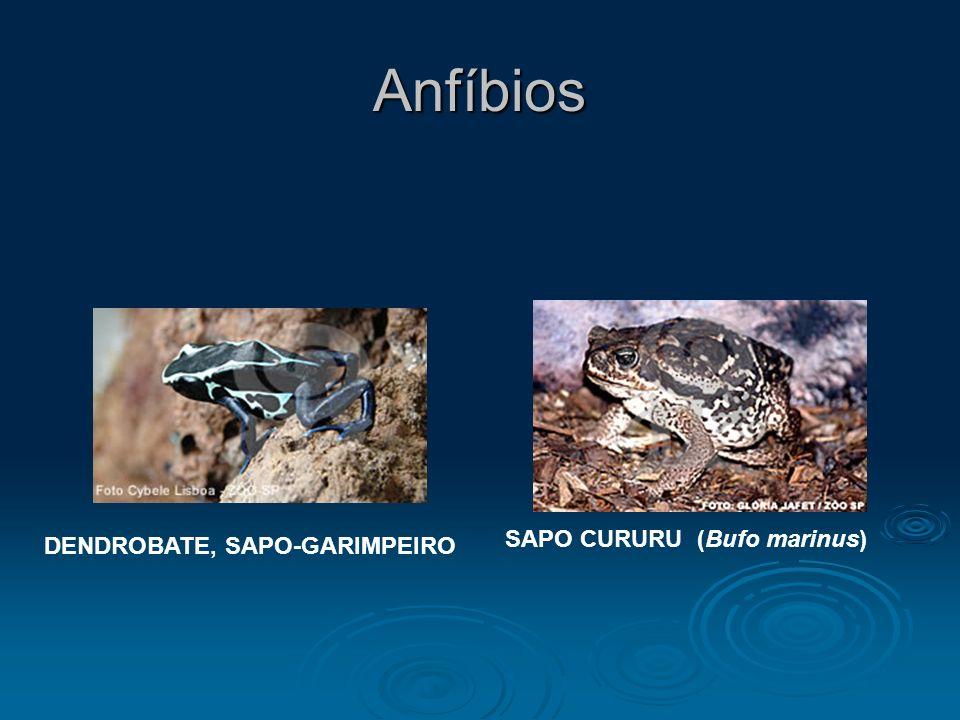 Anfíbios DENDROBATE, SAPO-GARIMPEIRO SAPO CURURU (Bufo marinus)