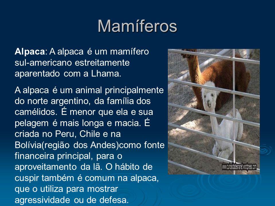 Mamíferos Alpaca: A alpaca é um mamífero sul-americano estreitamente aparentado com a Lhama. A alpaca é um animal principalmente do norte argentino, d