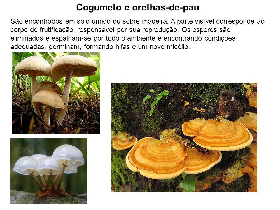 Cogumelo e orelhas-de-pau São encontrados em solo úmido ou sobre madeira. A parte visível corresponde ao corpo de frutificação, responsável por sua re