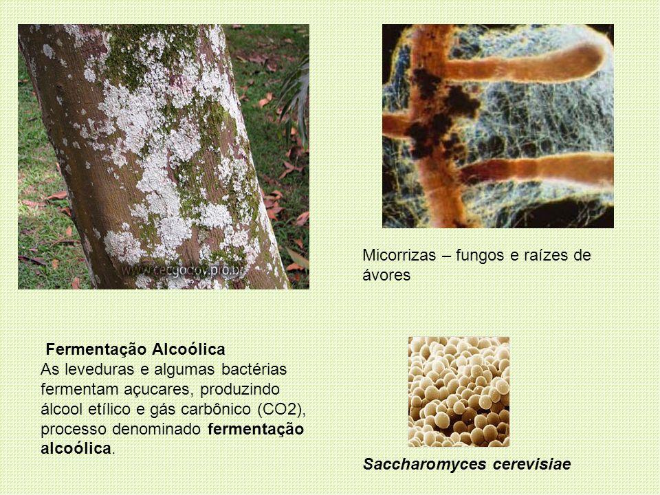 Micorrizas – fungos e raízes de ávores Fermentação Alcoólica As leveduras e algumas bactérias fermentam açucares, produzindo álcool etílico e gás carb