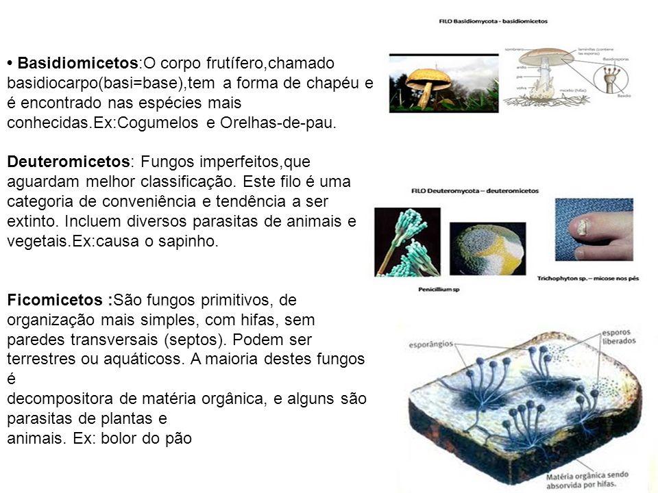 Basidiomicetos:O corpo frutífero,chamado basidiocarpo(basi=base),tem a forma de chapéu e é encontrado nas espécies mais conhecidas.Ex:Cogumelos e Orel