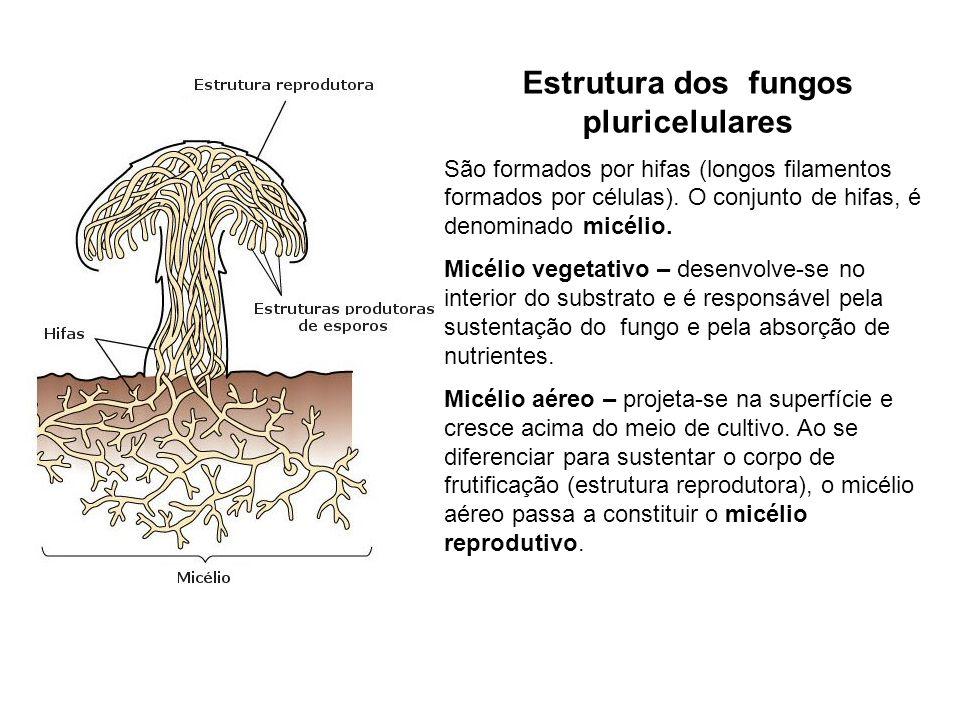 Esporulação – células leves denominadas conidiósporos, caem sobre a matéria orgânica desenvolvem-se, dando origem a outro fungo.