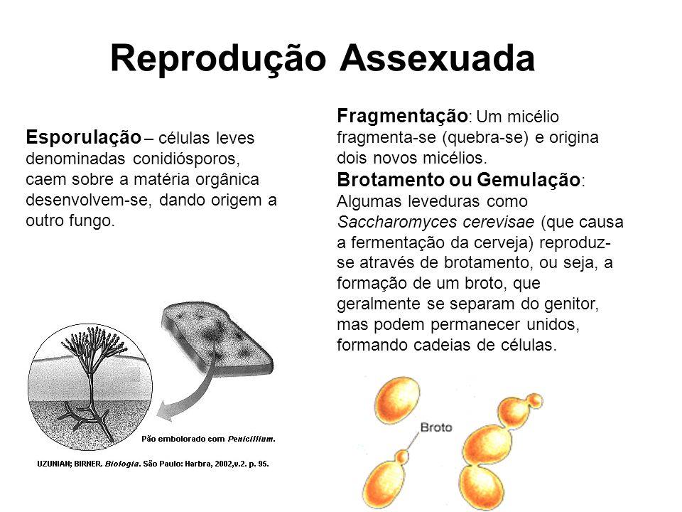Esporulação – células leves denominadas conidiósporos, caem sobre a matéria orgânica desenvolvem-se, dando origem a outro fungo. Fragmentação : Um mic