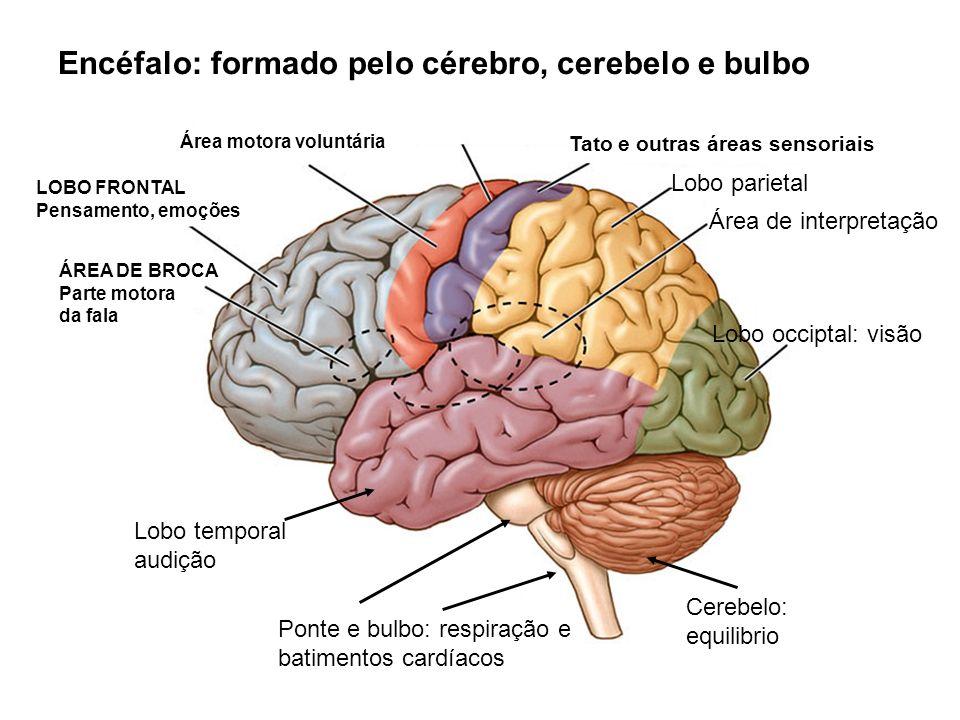 Encéfalo: formado pelo cérebro, cerebelo e bulbo ÁREA DE BROCA Parte motora da fala Área motora voluntária Área de interpretação Tato e outras áreas s