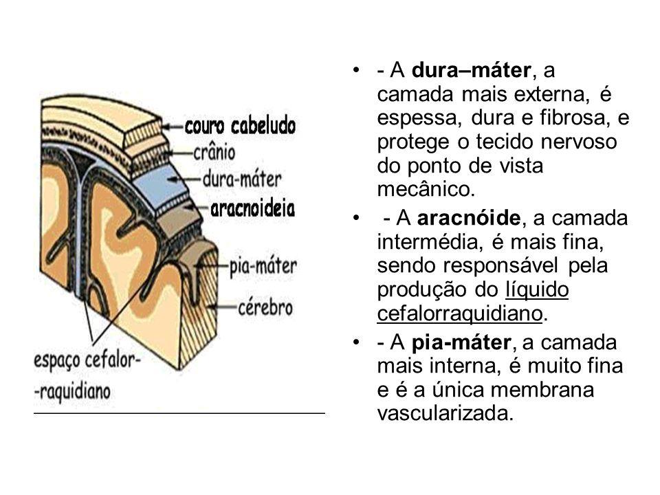 - A dura–máter, a camada mais externa, é espessa, dura e fibrosa, e protege o tecido nervoso do ponto de vista mecânico. - A aracnóide, a camada inter