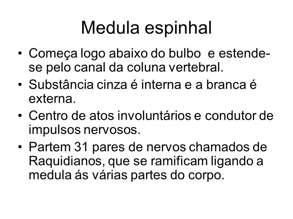 Medula espinhal Começa logo abaixo do bulbo e estende- se pelo canal da coluna vertebral. Substância cinza é interna e a branca é externa. Centro de a