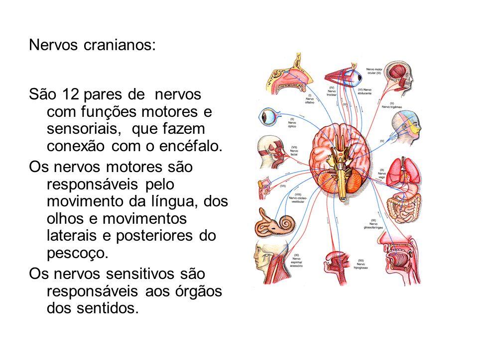 Nervos cranianos: São 12 pares de nervos com funções motores e sensoriais, que fazem conexão com o encéfalo. Os nervos motores são responsáveis pelo m