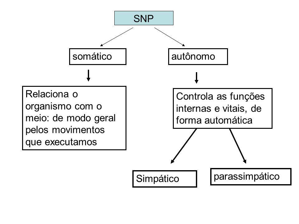 SNP somáticoautônomo Simpático parassimpático Relaciona o organismo com o meio: de modo geral pelos movimentos que executamos Controla as funções inte