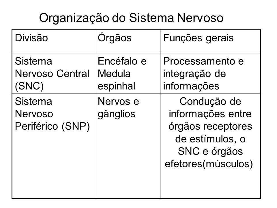 Organização do Sistema Nervoso DivisãoÓrgãosFunções gerais Sistema Nervoso Central (SNC) Encéfalo e Medula espinhal Processamento e integração de info