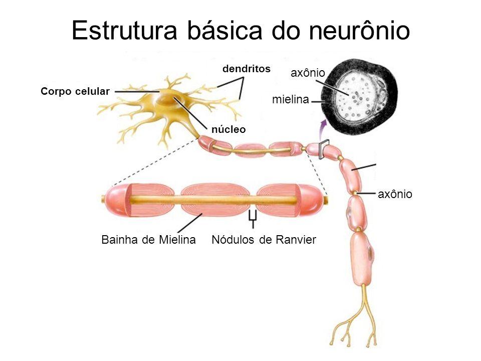 Estrutura básica do neurônio Corpo celular dendritos Bainha de MielinaNódulos de Ranvier axônio núcleo axônio mielina