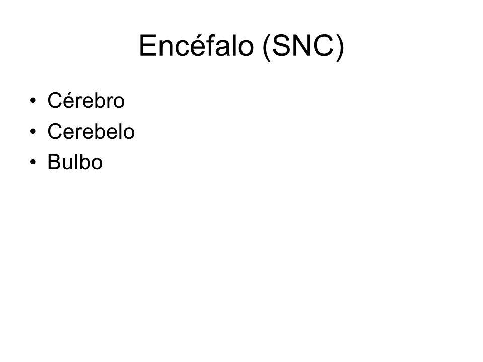 Encéfalo (SNC) Cérebro Cerebelo Bulbo