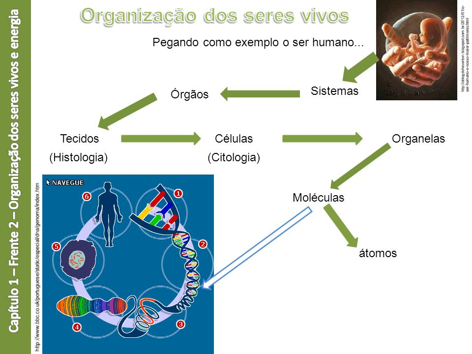 Pegando como exemplo o ser humano... Sistemas Órgãos TecidosCélulasOrganelas Moléculas átomos (Histologia)(Citologia)