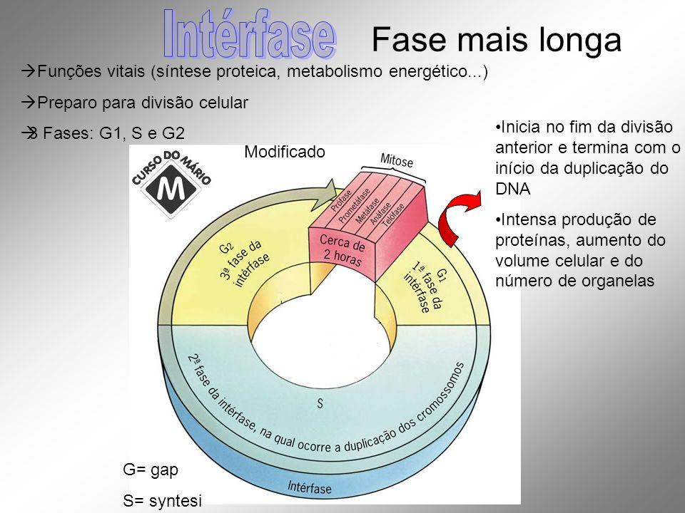 Funções vitais (síntese proteica, metabolismo energético...) Preparo para divisão celular 3 Fases: G1, S e G2 Modificado G= gap S= syntesi Fase mais l