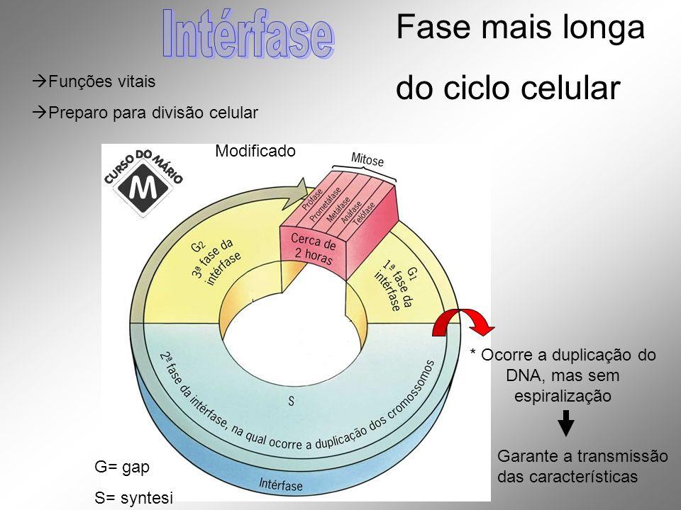 Funções vitais Preparo para divisão celular Modificado G= gap S= syntesi Fase mais longa do ciclo celular * Ocorre a duplicação do DNA, mas sem espira