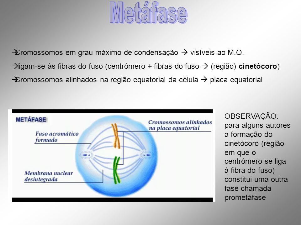 Cromossomos em grau máximo de condensação visíveis ao M.O. ligam-se às fibras do fuso (centrômero + fibras do fuso (região) cinetócoro) Cromossomos al