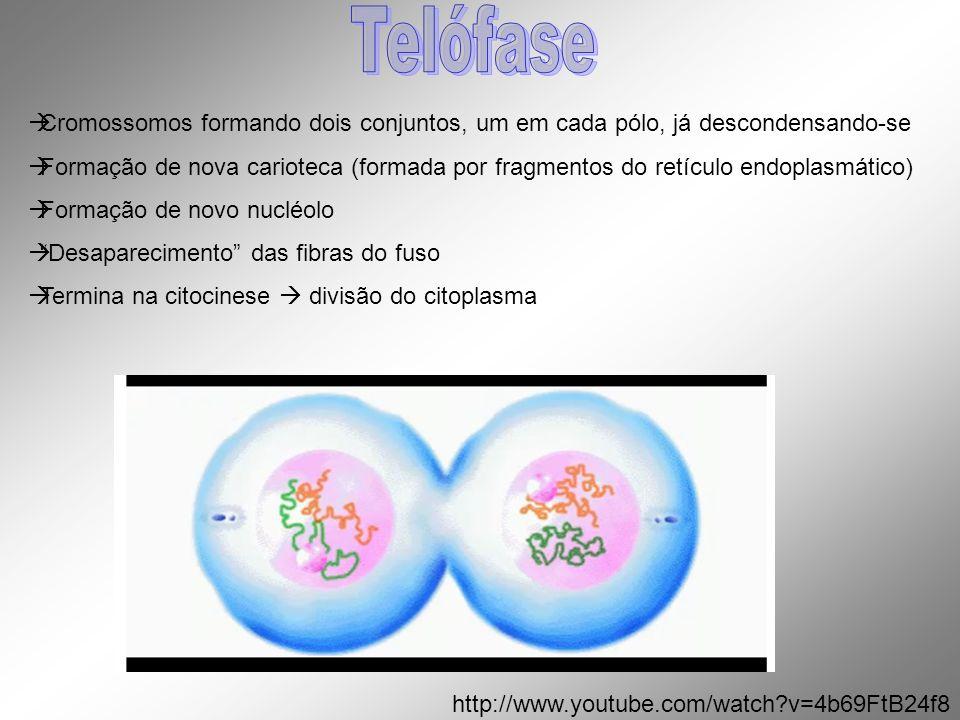 Cromossomos formando dois conjuntos, um em cada pólo, já descondensando-se Formação de nova carioteca (formada por fragmentos do retículo endoplasmáti