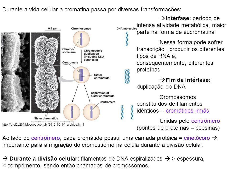Durante a vida celular a cromatina passa por diversas transformações: intérfase: período de intensa atividade metabólica, maior parte na forma de eucr