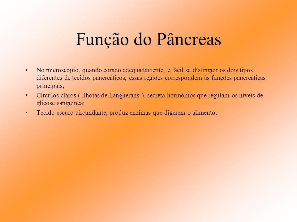 Pâncreas O ducto pancreático, também chamado de ducto de Wirsung percorre o comprimento do pâncreas e termina na segunda porção do duodeno, na ampola