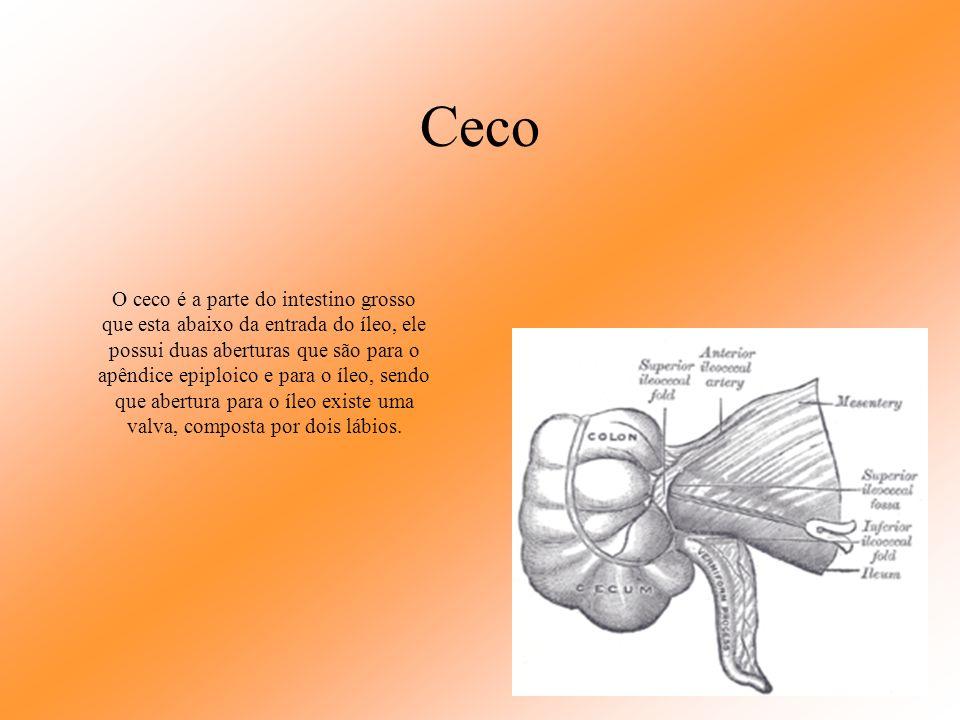 Intestino Grosso O intestino grosso tem um importante trabalho na absorção de água; Divide-se em ceco, cólon ascendente, cólon transverso, cólon desce
