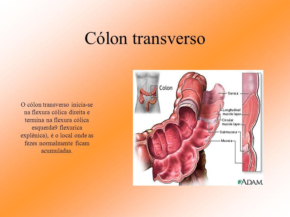 Apêndice vermiforme O apêndice vermiforme tem mais ou menos 10 cm de comprimento, é um órgão oco que possui em sua mucosa tecido linfóide, por tem a f