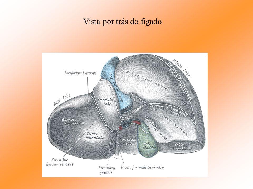 Fígado É a maior glândula do corpo humano; 1600g peso do fígado dos homens, 1300g peso do fígado nas mulheres; 150g ao nascer. Tem inúmeras funções de