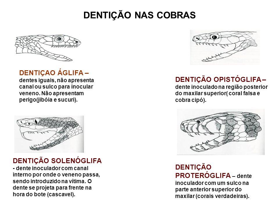 DENTIÇÃO NAS COBRAS DENTIÇÃO OPISTÓGLIFA – dente inoculado na região posterior do maxilar superior( coral falsa e cobra cipó). DENTIÇÃO SOLENÓGLIFA -